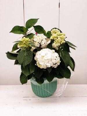 La Pérgola Floristería Almoradí Tienda En Linea Flores -hortensia