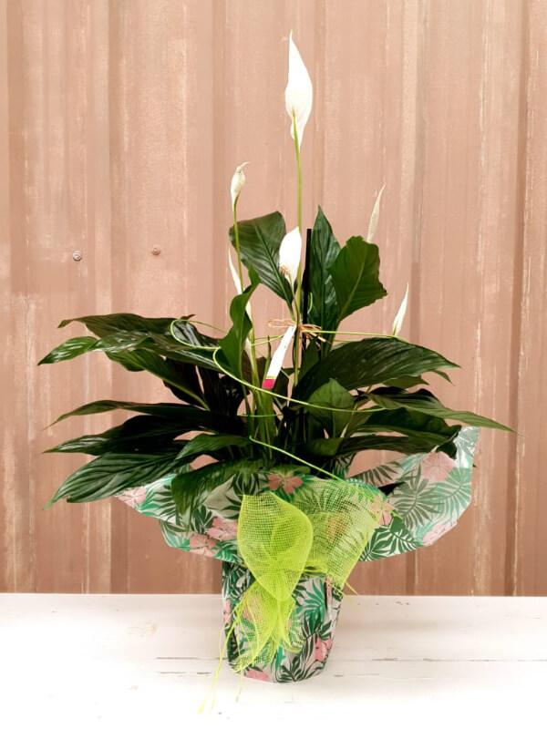 La Pérgola Floristería Almoradí Tienda En Linea Spathiphyllum 01